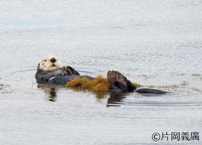 アゼチ岬周辺に住むオス 写真提供:片岡さん