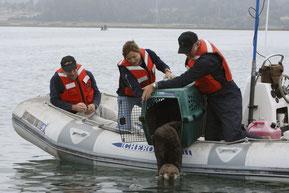 ラッコ保護プロフラムのスタッグがカリフォルニアラッコを野生に帰す© Monterey Bay Aquarium