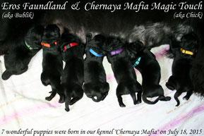 Щенки ньюфаундленда Chernaya Mafia
