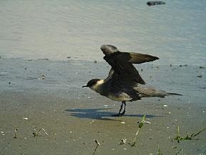 ・2010年5月1日 谷津干潟 右の風切が持ち上がっていない。