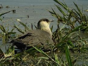 ・2010年5月1日 谷津干潟 座っていることが多かったが、顔はよく動き、辺りを警戒していた。