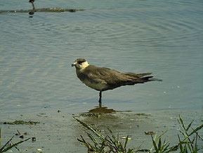 ・2010年5月1日 谷津干潟 尾羽中央の2枚が突出しているのが、成鳥の特徴とのこと。