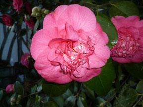 Camellia 'R.L Wheeler'
