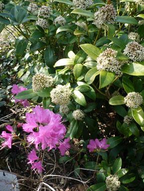 Rhododendron mucronulatum et skimmias