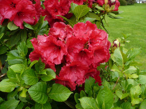 "Rhododendron ""Red Jack"""