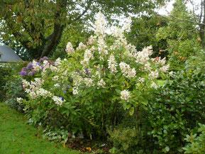 "Hydrangea paniculata ""Unique"""
