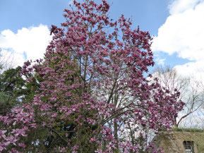 Gros plan sur magnolia 'Vulcan'