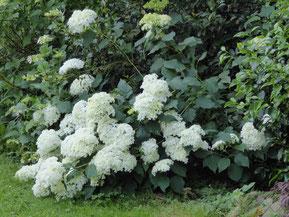 Hydrangea arborecens 'Annabelle'