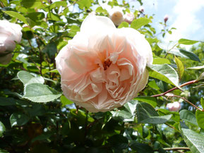 "Rose ""The Generous Gardener""( David Austin 2002)"