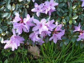 Rhododendron Hypopharoïdes