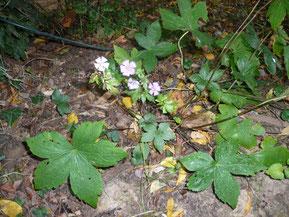 Géranium Nodosum