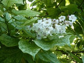 Feuilles et fleur du catalpa