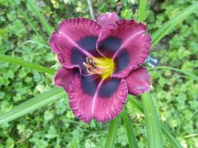 Hémérocalle 'Keriel's Prune Velvet'
