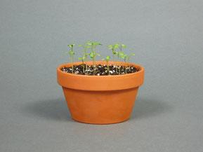 Vermehrung von Feldahorn, Acer campestre in einer Anzuchtschale