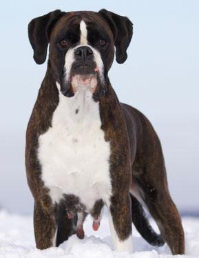 Boxer Zucht NRW