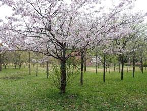 公園の苗圃には「思川」と言う名の桜が・・・何か風情を感じます