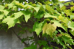 アメリカハナノキ Red maple (Acer rubrum)