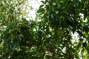 Acer oblongum (クスノハカエデ)