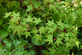 Acer micranthum (コミネカエデ)