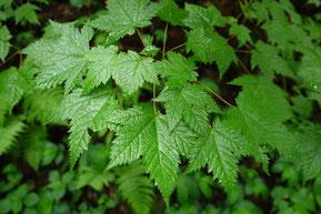 Acer argutum (アサノハカエデ)