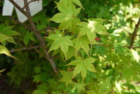 オオモミジの園芸品種:大盃 (Acer amoenum cv. osakazuki)