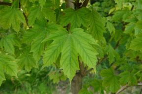 Acer diabolicum (カジカエデ)