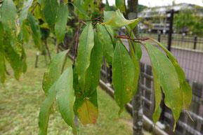 Acer albopurpurascens, Acer litseifolium