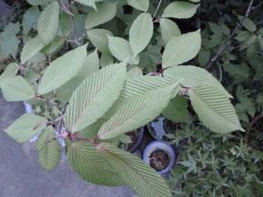 Acer carpinifolium (チドリノキ)