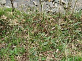 川べりの草むらに逃げ込んだタヌキ(写真中央)。