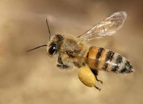 Eine schwer beladene Honigbiene [zum Vergrößern bitte anklicken] Muhammad Mahdi Karim 2 - Wikimedia 2009