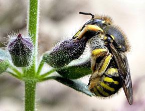Wollbiene in typischer Schlafstellung [zum Vergrößern bitte anklicken] soebe - wikipedia 2012