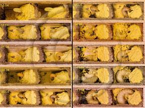 Entwicklung der Mauerbienenlarven [zum Vergrößern bitte anklicken]