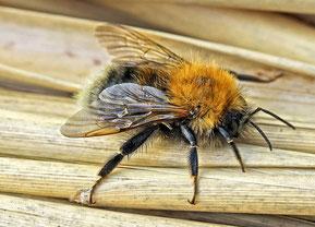 Baumhummel (Bombus hypnorum) [zum Vergrößern bitte anklicken]  Entomart - Wikimedia 2010