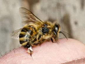 Honigbiene mit herausgerissenem Stachelapparat [zum Vergrößern bitte anklicken] Waugsberg - Wikimedia 2007