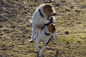Kromfohrländer und Dansk Svensk Gardhund