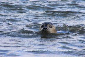 Découverte des phoques en Baie de Somme, sortie nature Traversée de la baie de somme organisée par Découvrons la Baie de Somme