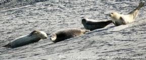 Traversée, découverte des phoques en Baie de Somme©Découvrons la Baie de Somme