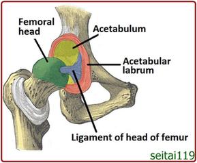 股関節の痛み,股関節包内靭帯