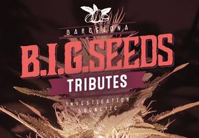 semillas de marihuana feminizadas big seeds tributes