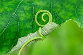 Rebe, Ranke mit Schlinge, Knoten in grün - Symbol für Lösungsorientierte Kurzzeittherapie