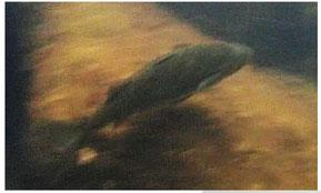 15年ぶりに生体が確認されたカワボラを赤塚氏が撮影(西表島エコツーリズム協会提供)