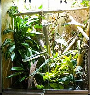 Phelsuma standingi terrarium