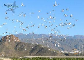 Die Tauben auf der Insel Teneriffa (Derby Arona)