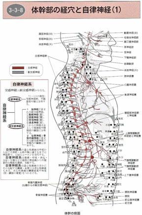 体幹部の経穴と自律神経
