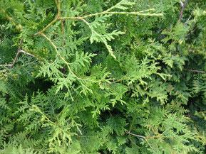 Dichte Heckenpflanze Lebensbaum Brabant