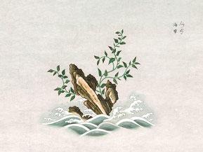 Laminaria japonica Aresch de la Expedición Filantrópica de la Vacuna. / Archivo del RJB-CSIC