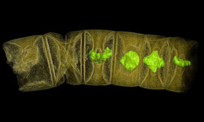Imagen tomográfica por rayos X de algas rojas fósiles estudiadas en el trabajo / Stefan Bengtson