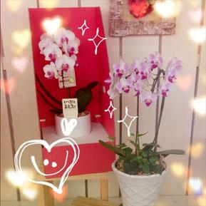 胡蝶蘭 花鉢 花ひろ