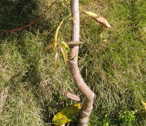 タイノウマンゴー 2019/10 下部の幹から新芽がたくさん出てきた。