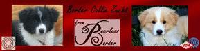 """Border Collie Zucht """"from Peerlessborder"""""""